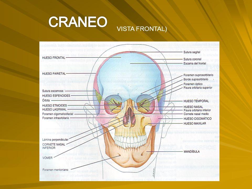 CRANEO VISTA FRONTAL)