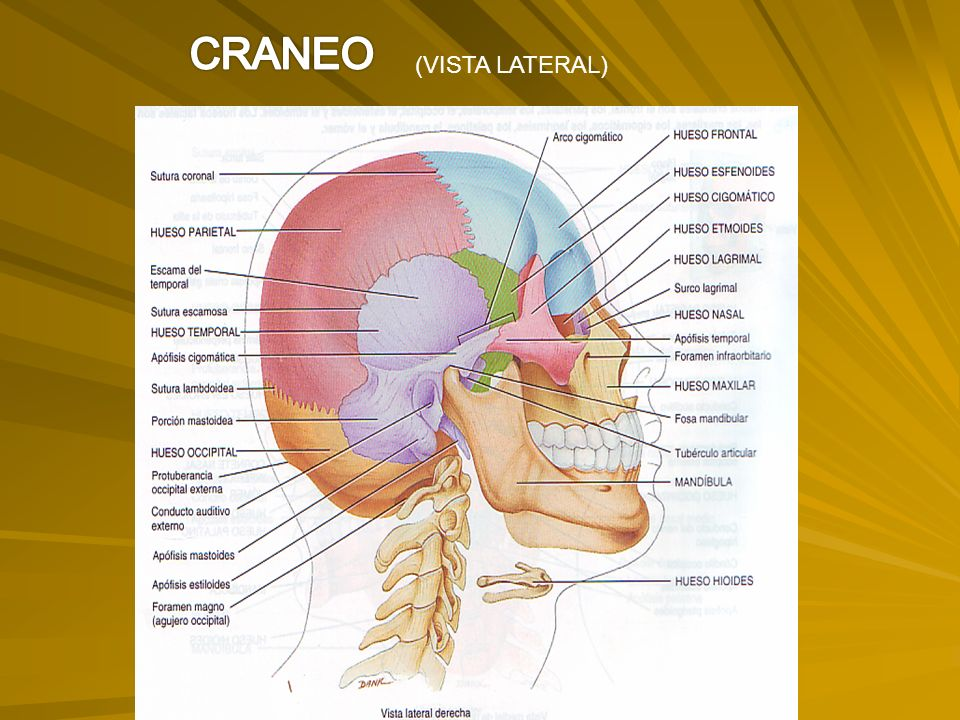 CRANEO (VISTA LATERAL)