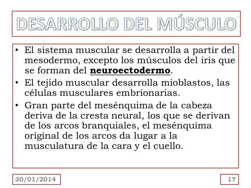 DESARROLLO DEL MÚSCULO