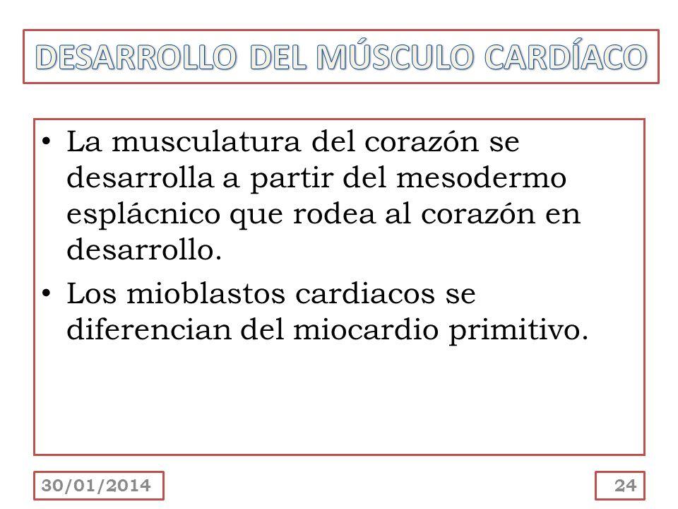 DESARROLLO DEL MÚSCULO CARDÍACO
