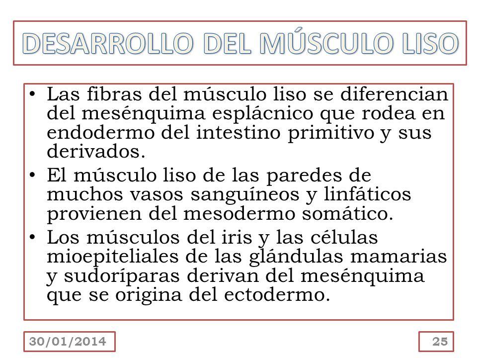 DESARROLLO DEL MÚSCULO LISO