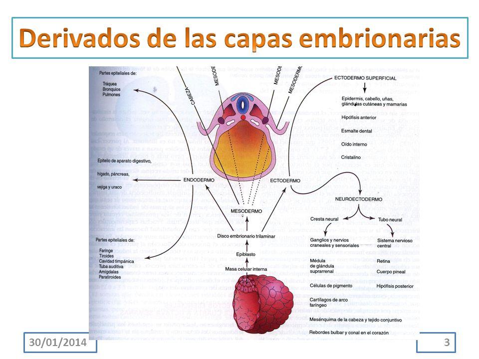 Derivados de las capas embrionarias