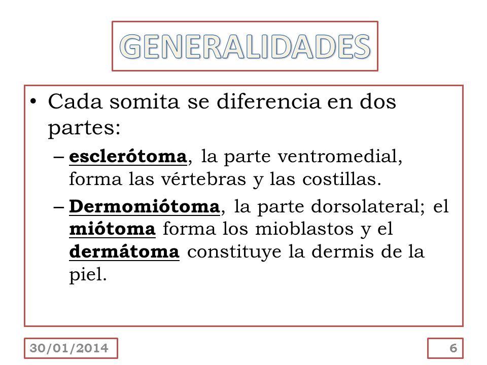 GENERALIDADES Cada somita se diferencia en dos partes: