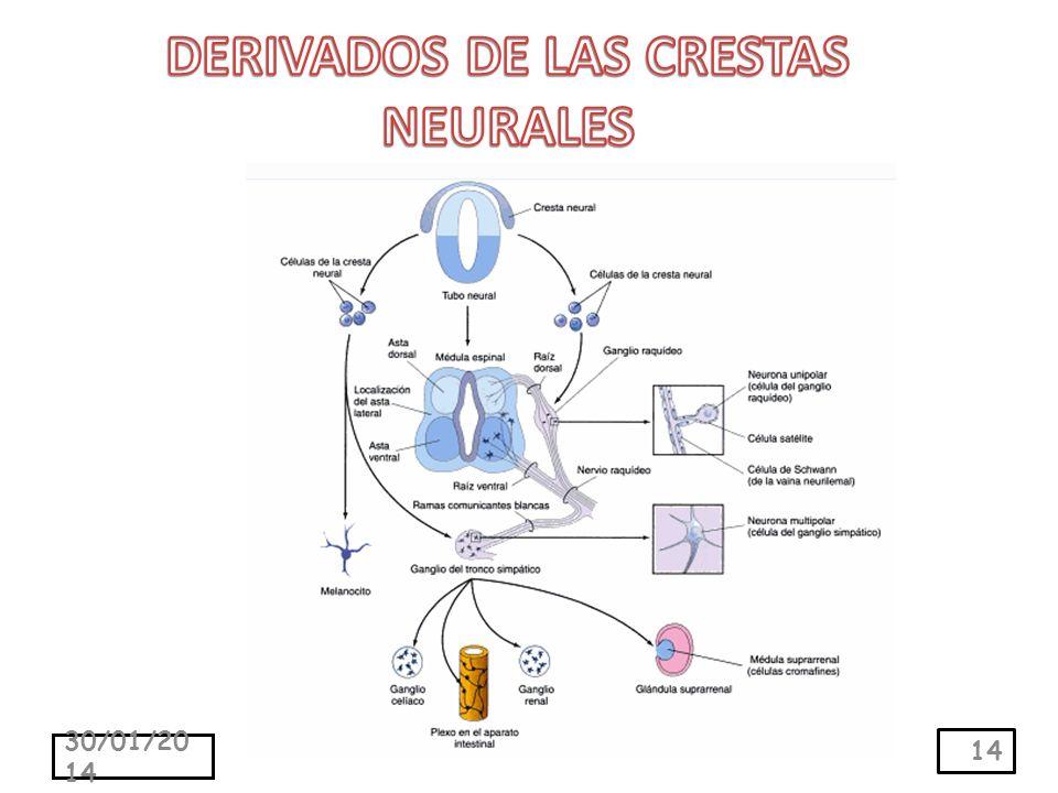 DERIVADOS DE LAS CRESTAS NEURALES