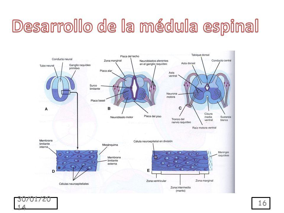 Desarrollo de la médula espinal