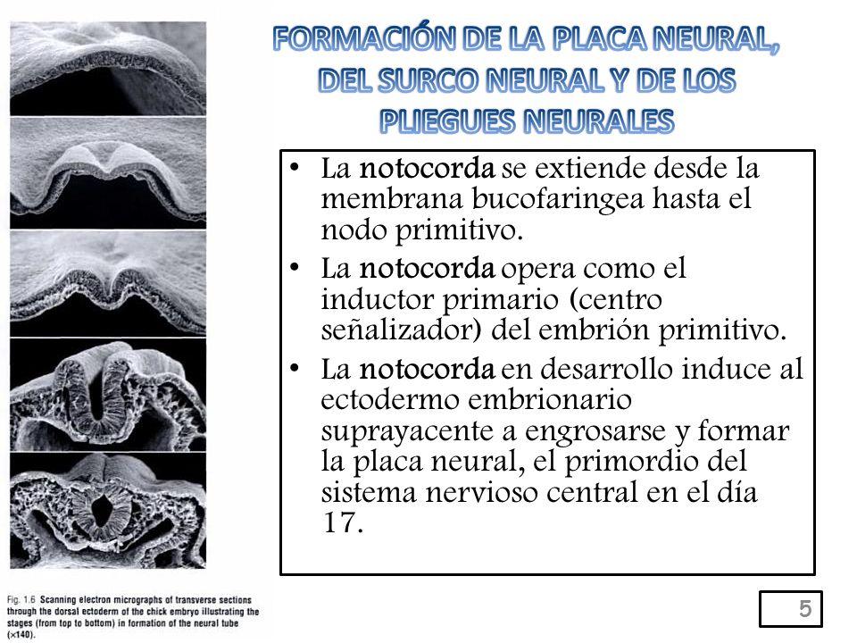 FORMACIÓN DE LA PLACA NEURAL, DEL SURCO NEURAL Y DE LOS PLIEGUES NEURALES