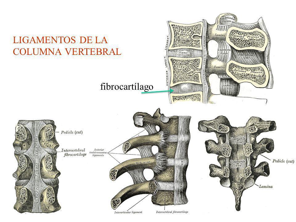LIGAMENTOS DE LA COLUMNA VERTEBRAL fibrocartílago
