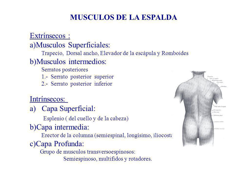Musculos Superficiales: Musculos intermedios: