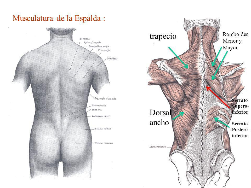 Musculatura de la Espalda :