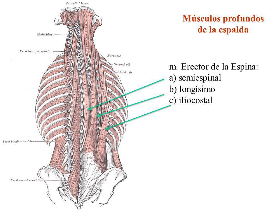 Músculos profundos de la espalda m. Erector de la Espina: a) semiespinal b) longísimo c) iliocostal