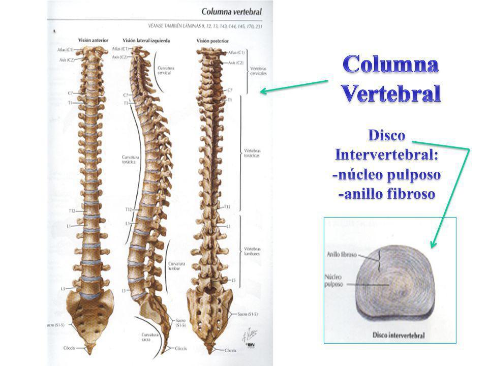 Columna Vertebral Disco Intervertebral: -núcleo pulposo