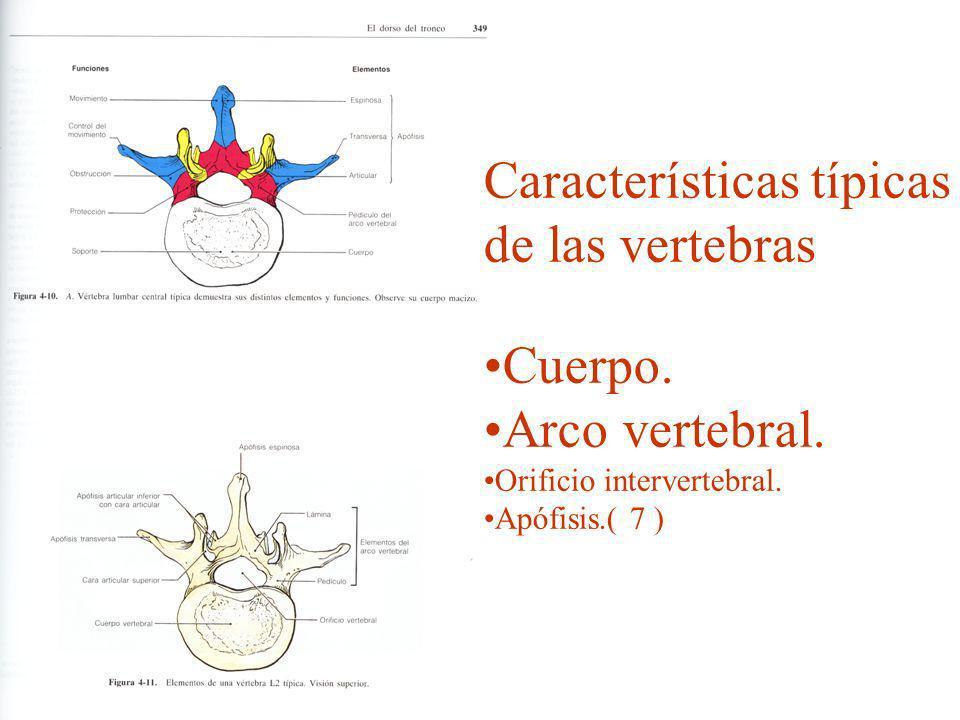 Características típicas de las vertebras Cuerpo. Arco vertebral.