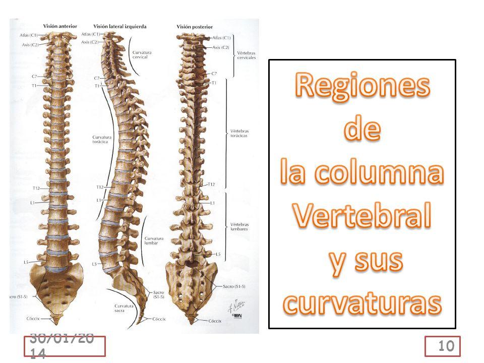 Regiones de la columna Vertebral y sus curvaturas