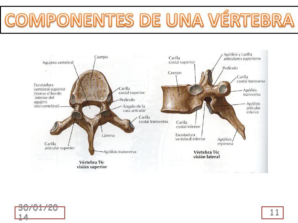 COMPONENTES DE UNA VÉRTEBRA