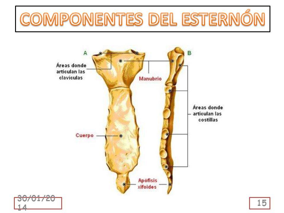 COMPONENTES DEL ESTERNÓN