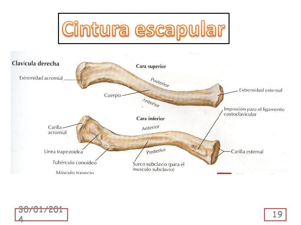 Cintura escapular 24/03/2017