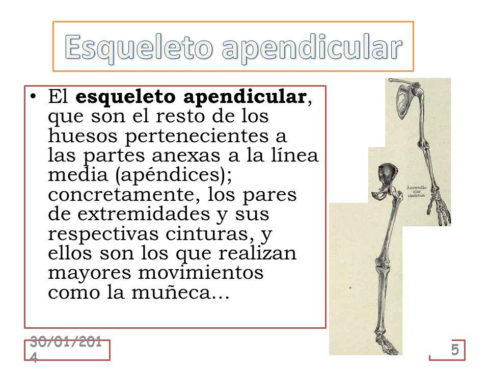 Esqueleto apendicular