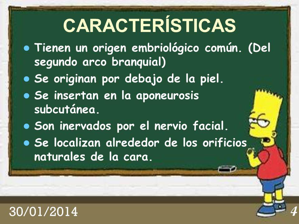 CARACTERÍSTICAS Tienen un origen embriológico común. (Del segundo arco branquial) Se originan por debajo de la piel.