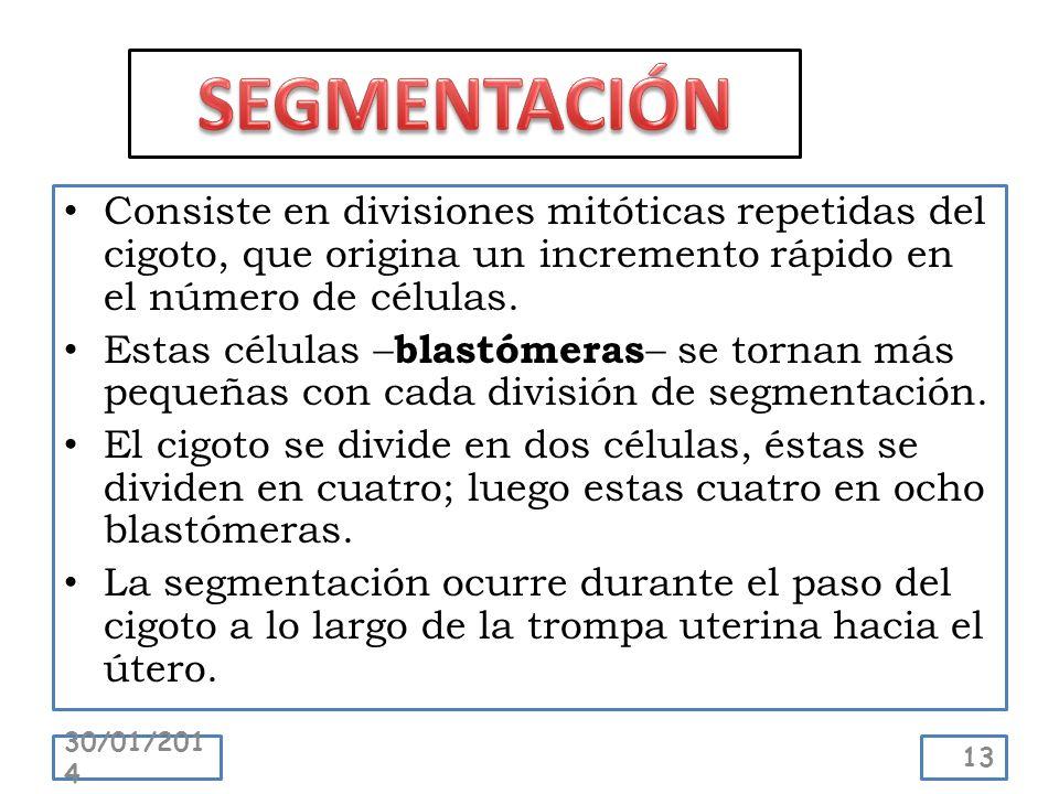 SEGMENTACIÓN Consiste en divisiones mitóticas repetidas del cigoto, que origina un incremento rápido en el número de células.