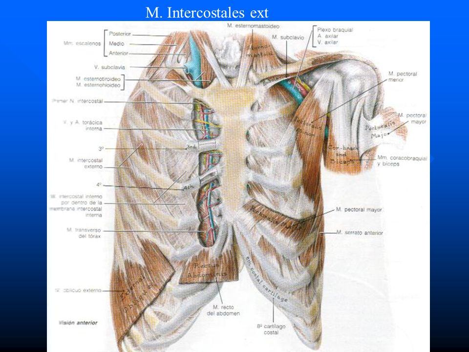 M. Intercostales ext