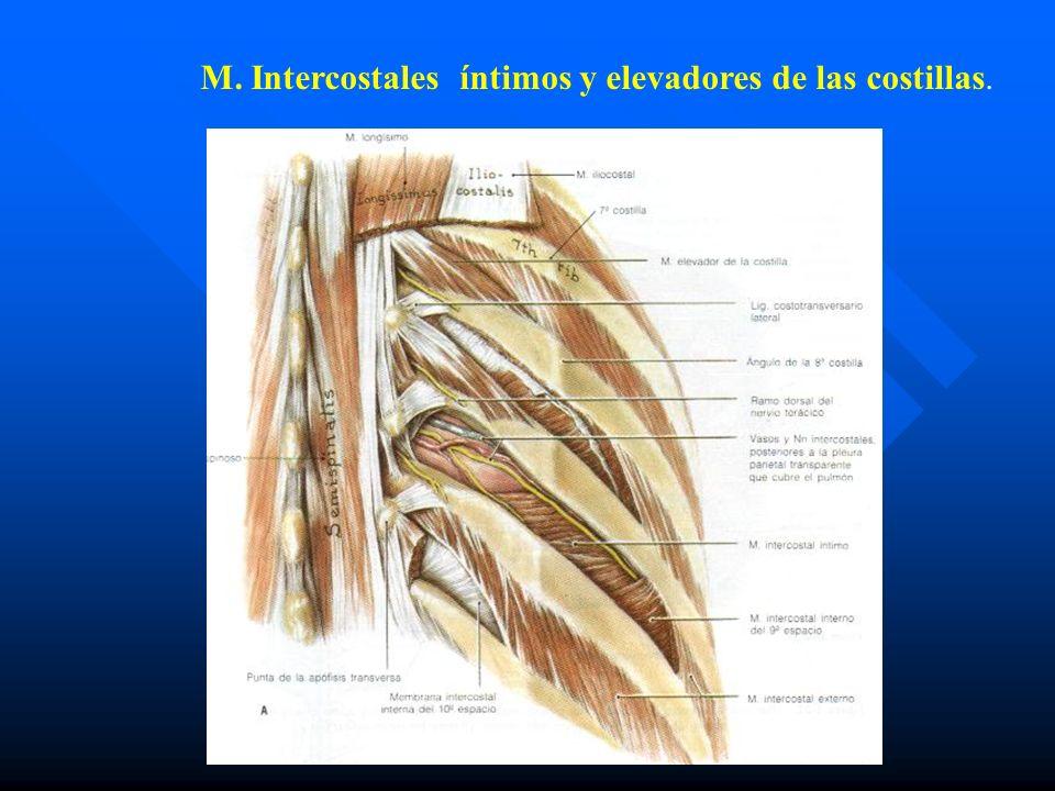 M. Intercostales íntimos y elevadores de las costillas.