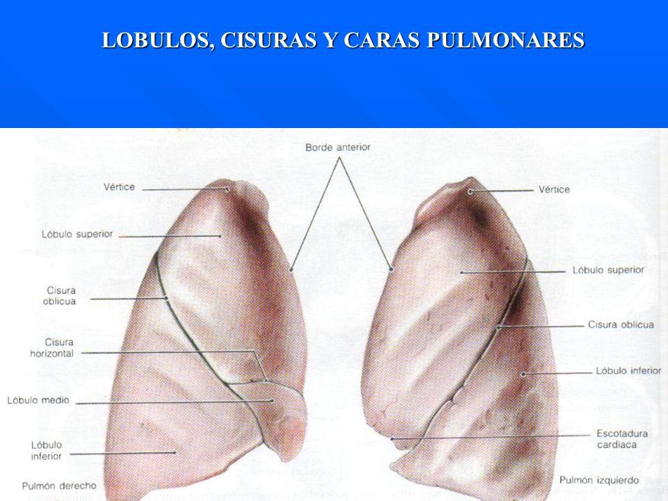 LOBULOS, CISURAS Y CARAS PULMONARES