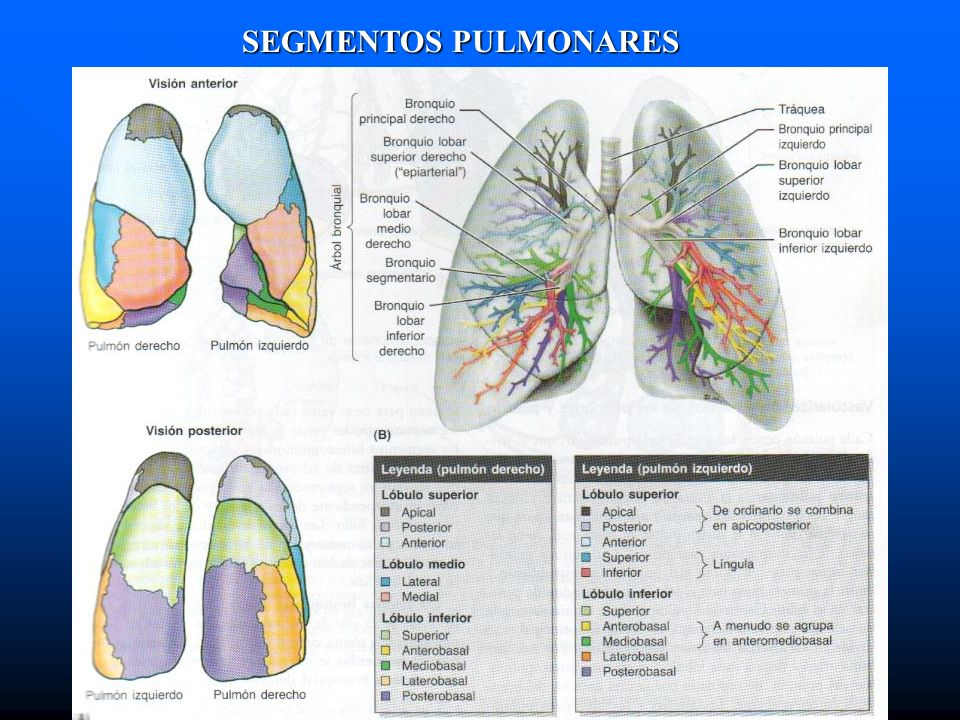SEGMENTOS PULMONARES