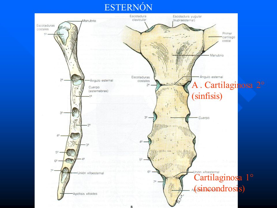 ESTERNÓN A . Cartilaginosa 2° (sinfisis) Cartilaginosa 1° (sincondrosis)