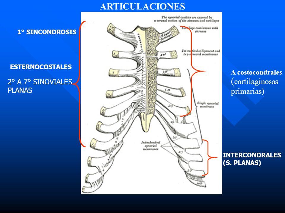 ARTICULACIONES (cartilaginosas primarias) 2° A 7° SINOVIALES PLANAS