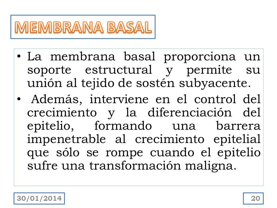 MEMBRANA BASAL La membrana basal proporciona un soporte estructural y permite su unión al tejido de sostén subyacente.
