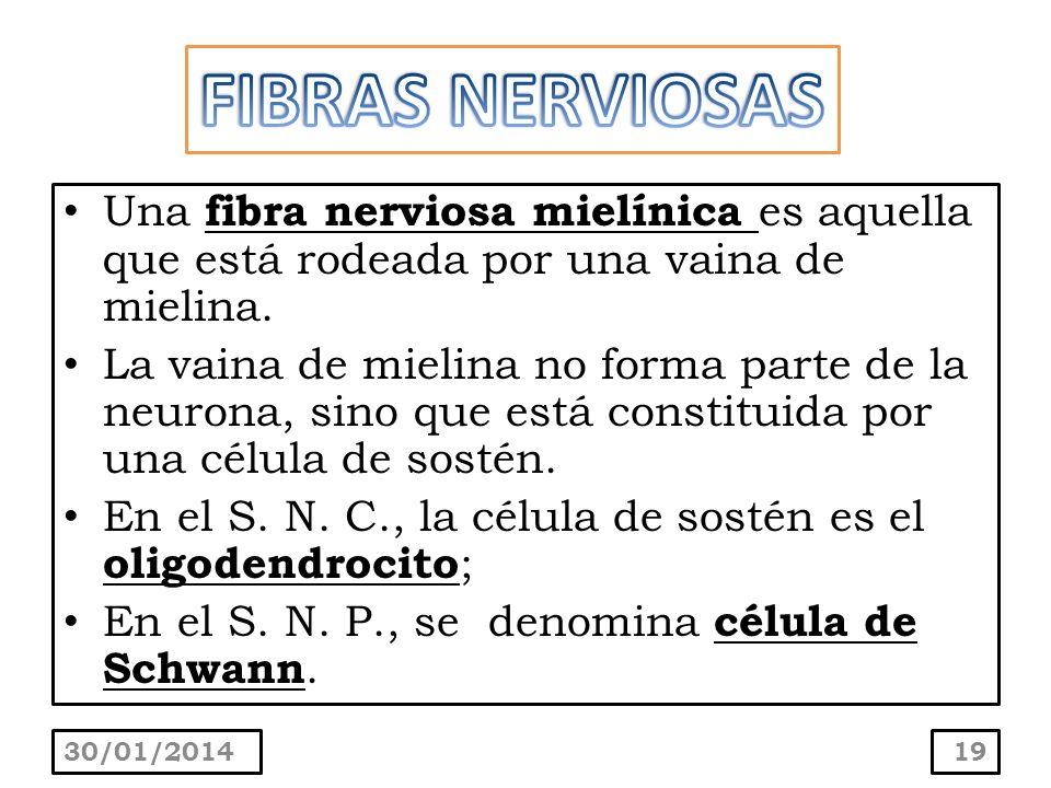 FIBRAS NERVIOSASUna fibra nerviosa mielínica es aquella que está rodeada por una vaina de mielina.