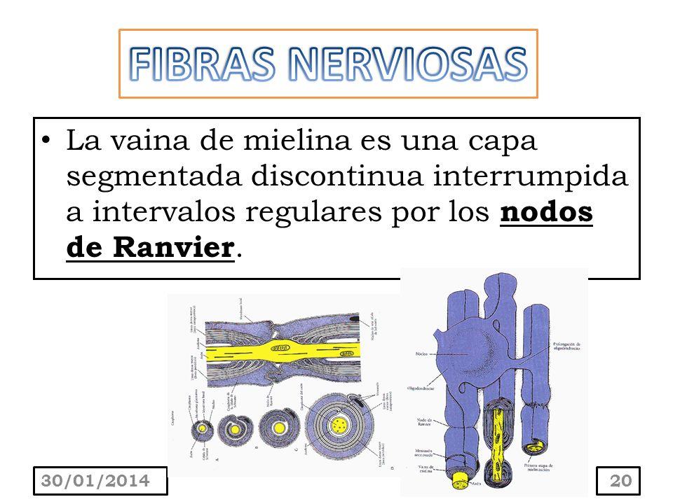 FIBRAS NERVIOSAS La vaina de mielina es una capa segmentada discontinua interrumpida a intervalos regulares por los nodos de Ranvier.
