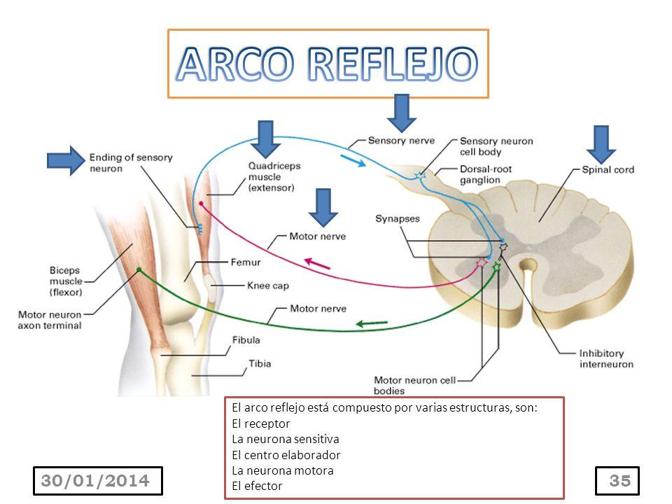 ARCO REFLEJO El arco reflejo está compuesto por varias estructuras, son: El receptor. La neurona sensitiva.
