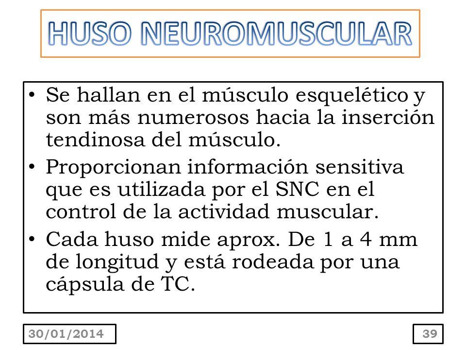 HUSO NEUROMUSCULAR Se hallan en el músculo esquelético y son más numerosos hacia la inserción tendinosa del músculo.