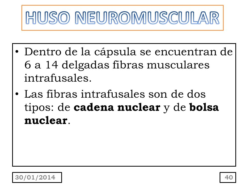 HUSO NEUROMUSCULAR Dentro de la cápsula se encuentran de 6 a 14 delgadas fibras musculares intrafusales.