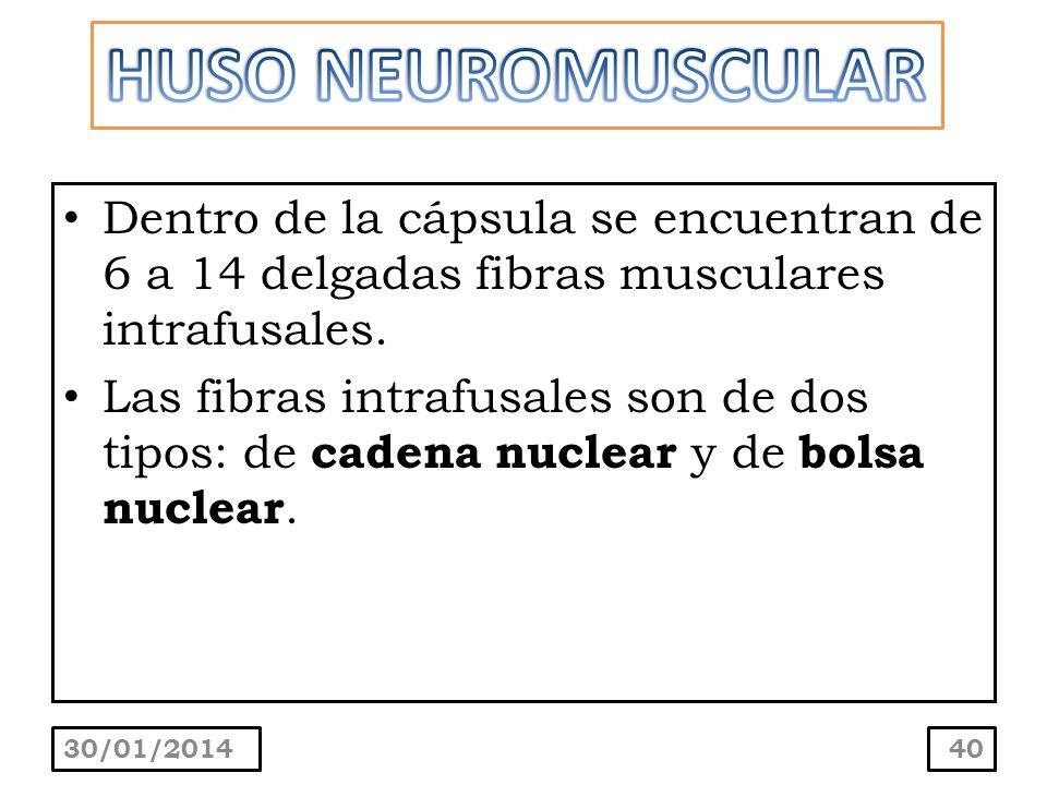 HUSO NEUROMUSCULARDentro de la cápsula se encuentran de 6 a 14 delgadas fibras musculares intrafusales.