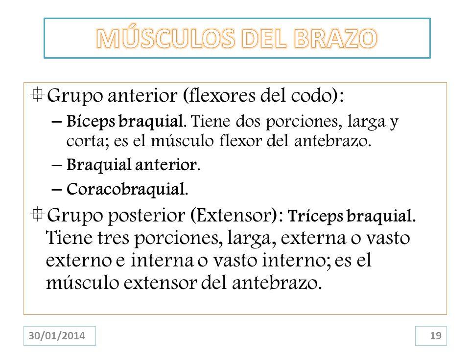 MÚSCULOS DEL BRAZO Grupo anterior (flexores del codo):