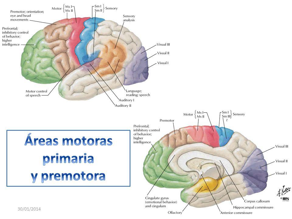 Áreas motoras primaria