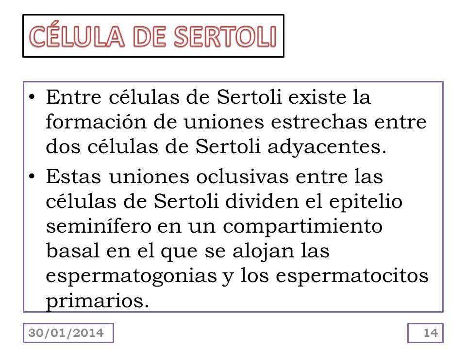 CÉLULA DE SERTOLI Entre células de Sertoli existe la formación de uniones estrechas entre dos células de Sertoli adyacentes.