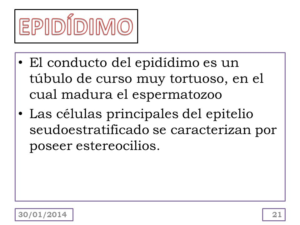 EPIDÍDIMO El conducto del epidídimo es un túbulo de curso muy tortuoso, en el cual madura el espermatozoo.