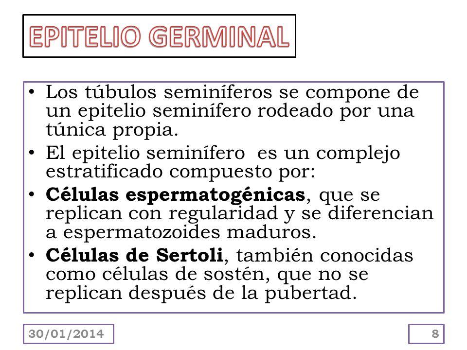 EPITELIO GERMINAL Los túbulos seminíferos se compone de un epitelio seminífero rodeado por una túnica propia.