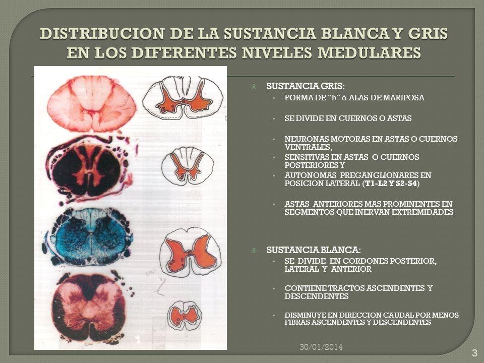 DISTRIBUCION DE LA SUSTANCIA BLANCA Y GRIS EN LOS DIFERENTES NIVELES MEDULARES