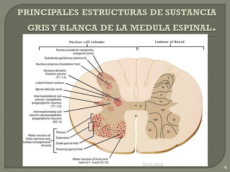 PRINCIPALES ESTRUCTURAS DE SUSTANCIA GRIS Y BLANCA DE LA MEDULA ESPINAL.