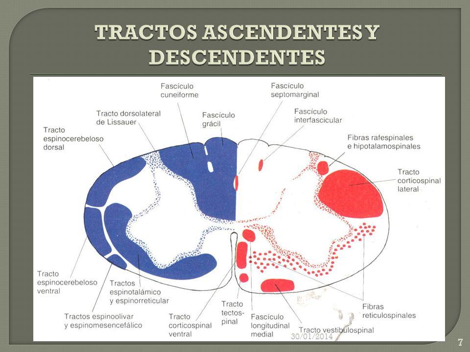 TRACTOS ASCENDENTES Y DESCENDENTES