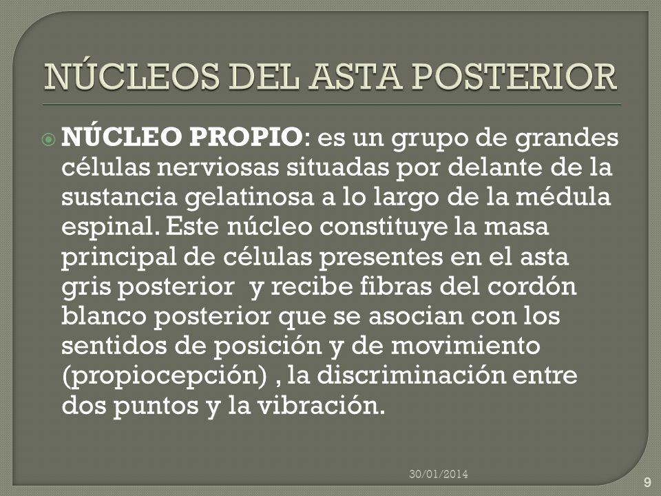 NÚCLEOS DEL ASTA POSTERIOR