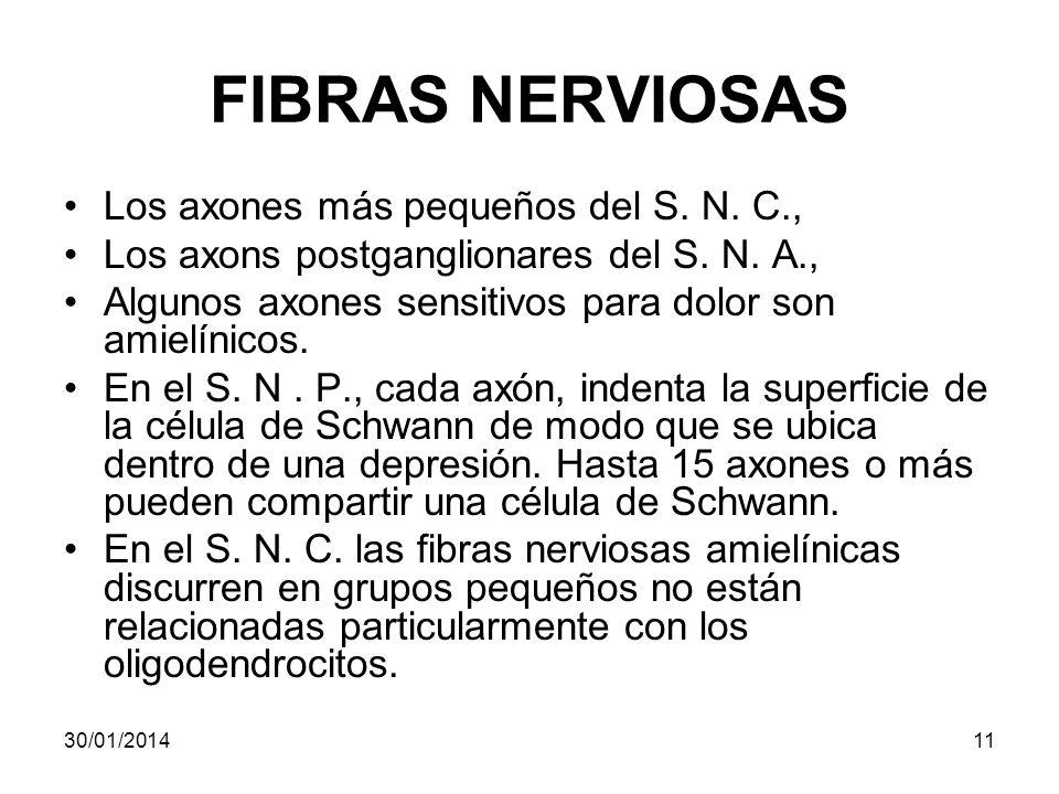 FIBRAS NERVIOSAS Los axones más pequeños del S. N. C.,