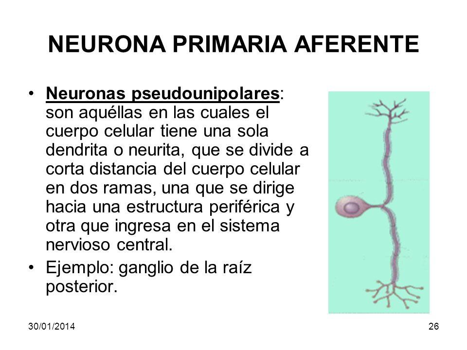 NEURONA PRIMARIA AFERENTE