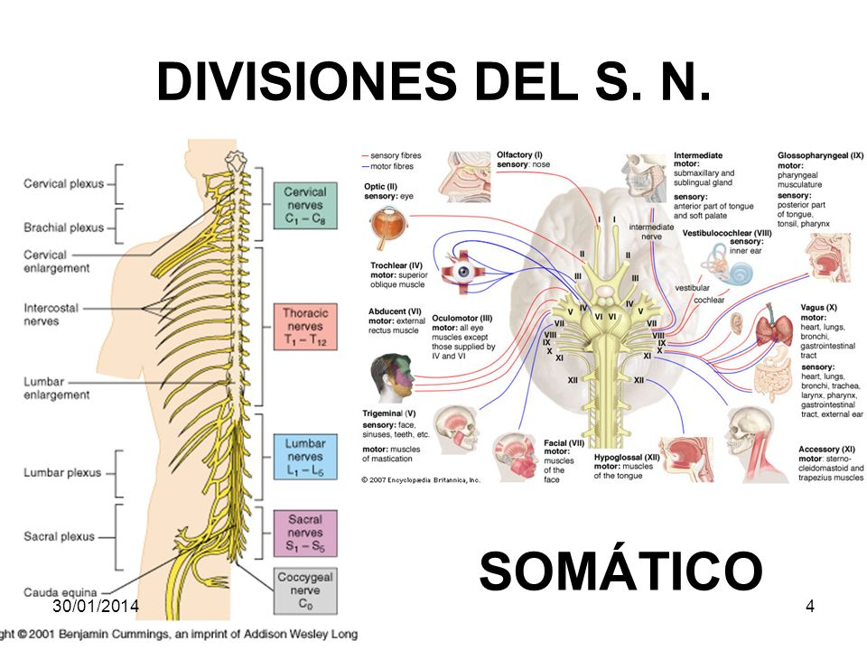 DIVISIONES DEL S. N. SOMÁTICO