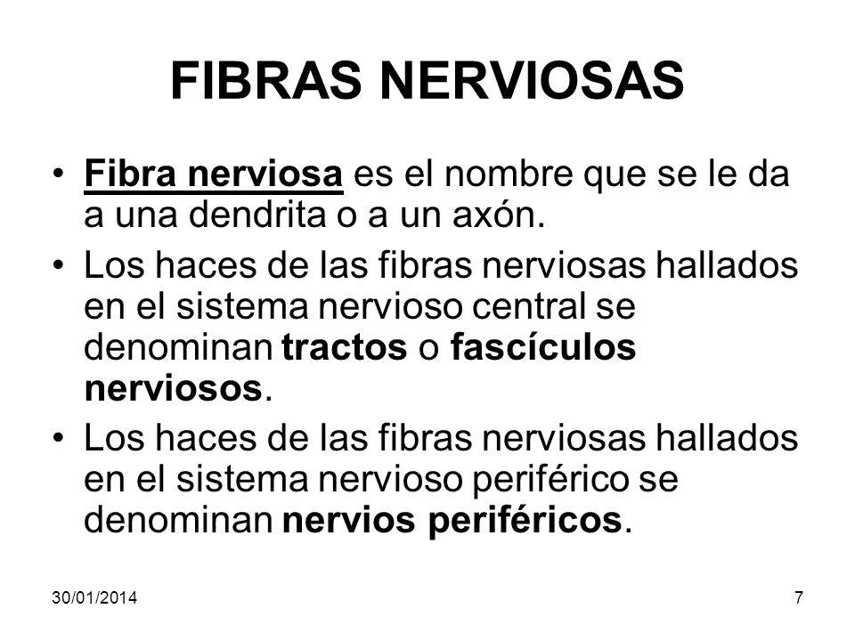 FIBRAS NERVIOSAS Fibra nerviosa es el nombre que se le da a una dendrita o a un axón.