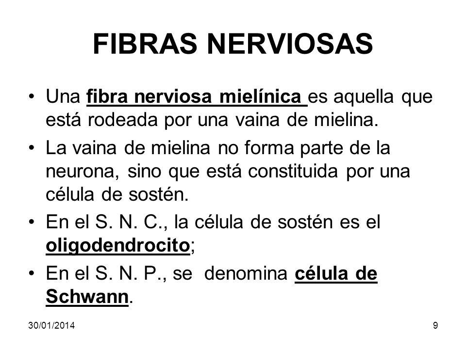 FIBRAS NERVIOSAS Una fibra nerviosa mielínica es aquella que está rodeada por una vaina de mielina.